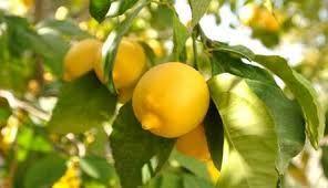 citron_jaune